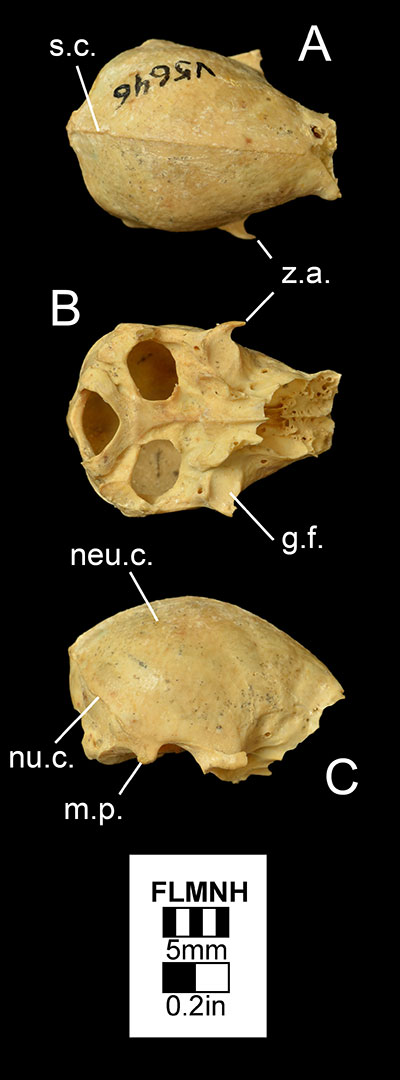 Figure 3. The braincase of Desmodus stocki (UF/FGS 5646) in A) dorsal, B) ventral, and C) right lateral views. Abbreviations: g.f.= glenoid fossa; m.p.= mastoid process; neu.c.= neurocranium; nu.c.= nuchal crest; s.c.= sagittal crest; z.a.= zygomatic arch.