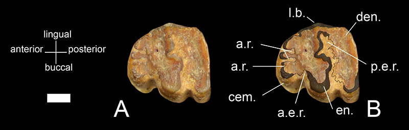 Figure 4. A) Closeup of the lower third premolar of UF 51052, the holotype of Sylvilagus webbi, and B) the same tooth, labeled. Areas shaded in dark grey represent enamel. Areas of dentine are a pale orange/tan and cementum is a pale yellow color. Abbreviations: a.e.r.= anteroexternal reentrant; a.r.= anterior reentrants; cem= cementum; den.= dentine; en.= enamel; l.b.= lingual border of the tooth; p.e.r.= posteroexternal reentrant. Buccal means the same as labial. Scale= 1mm (0.0393701 in).