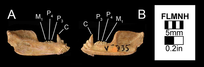 Figure 4. The left mandible of Desmodus stocki (UF 5935) in A) medial and B) left lateral views. This specimen was the holotype specimen of Desmodus magnus (Gut, 1959), which has since been synonymized to Desmodus stocki.