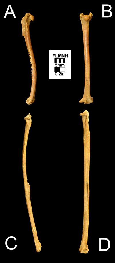 Figure 5. The right humerus of Desmodus stocki (UF 12541) in A) anterior and B) medial views and the left radius of Desmodus stocki (UF 93858) in C) anterior and D) medial views. UF 93858 has been flipped.