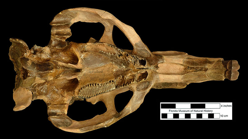 Figure 4. Ventral view of the restored skull of the extinct giant capybara Neochoerus pinckneyi from the West Palm Beach Site, Palm Beach County, Florida, as it looks today. Darker areas are real bone; lighter tan areas are reconstructed based on skulls of modern capybaras.