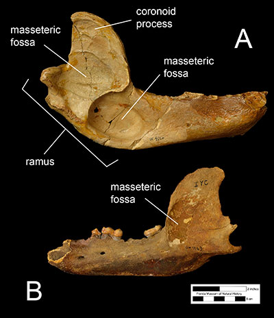Figure 2. A) The edentulous (toothless) right mandible of the North American spectacled bear, Tremarctos floridanus (UF 8526) and B) the left mandible of the North American black bear, Ursus americanus, with the fourth premolar, first molar, and third molar.