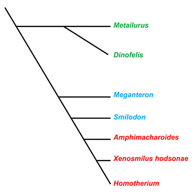 Figure 2. A cladigram modified from Christianson (2013) illustrating the evolutionary relationships of Machairodontinae. Red taxa are those traditionally grouped in tribe Homotherini, the blue in tribe Smilodontini, and green in tribe Metailurini.