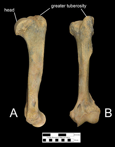Figure 6. The left humerus of Xenosmilus hodsonae (UF 60000) in A) left lateral and B) anterior view.