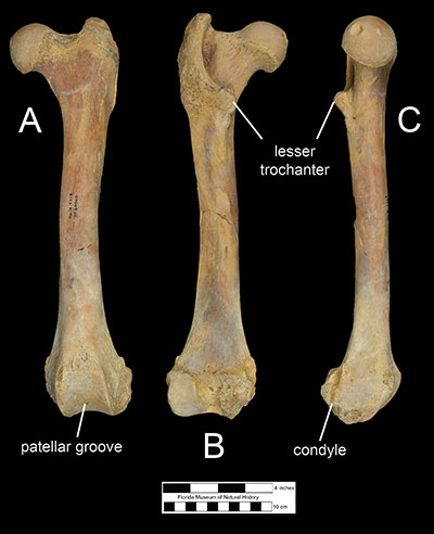 Figure 7. The left femur of Xenosmilus hodsonae (UF 60000) in A) anterior, B) posterior, and C) medial views.