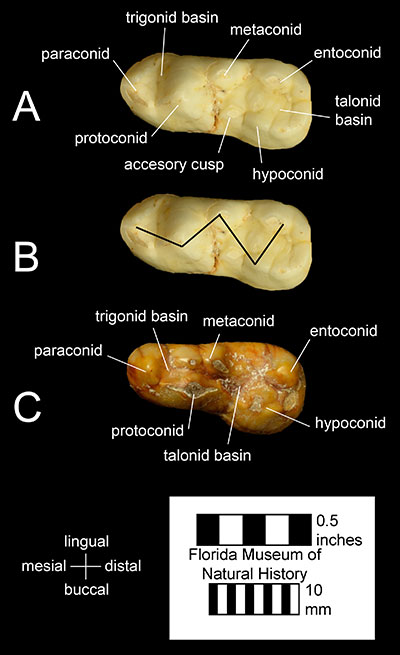 Figure 3. The lower left first molars of A) and B) Tremarctos floridanus (UF 212681) and C) Ursus americanus (UF 9169). Notice the accessory cusp in A and the W-shaped cusp pattern formed by the paraconid, protoconid, metaconid, hypoconid, and entoconid in B, which are characteristic of Tremarctinae and Tremarctos, respectively.
