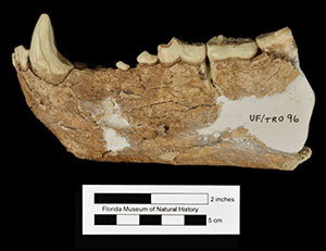 UF/TRO 96, a jaw belonging to this species
