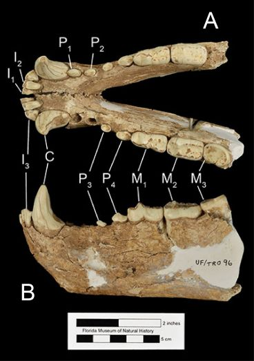 Figure 4. The mandible of Tremarctos floridanus (UF/TRO 96) in A) occlusal and B) left lateral views. Abbreviations: I1= first incisor; I2= second incisor; I3= third incisor; P1= first premolar; P2= second premolar; P3= third premolar; P4= fourth premolar; M1= first molar; M2= second molar; M3= third molar.