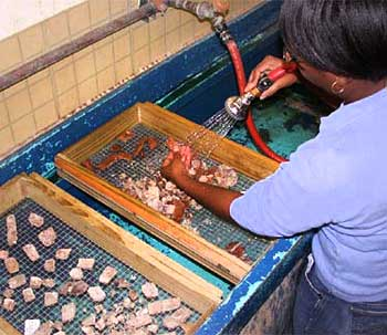 Volunteer washing fossils