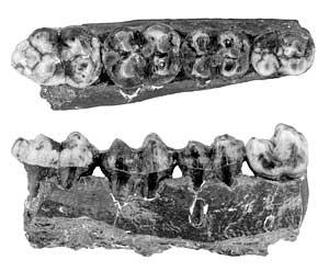 peccary teeth