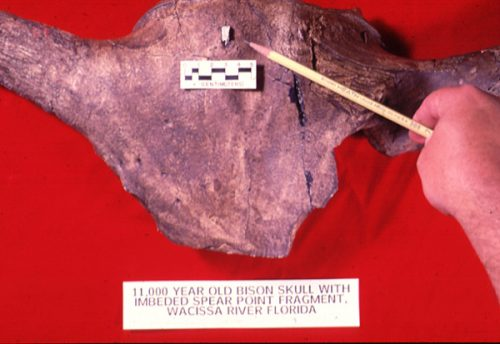 bison skull with spear point