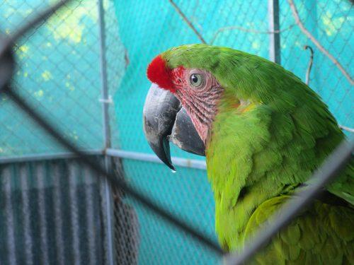 Green Macaw - ARA Project in Punta Islita