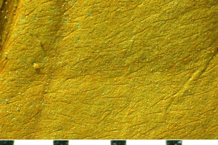 Cornus swingii specimen magnified