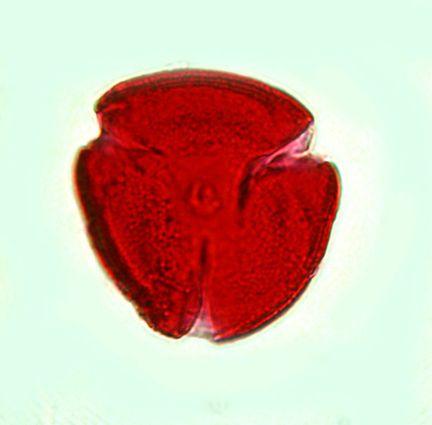 magnified pollen specimen