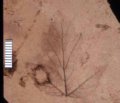 Hypotype of fossil plant leaf