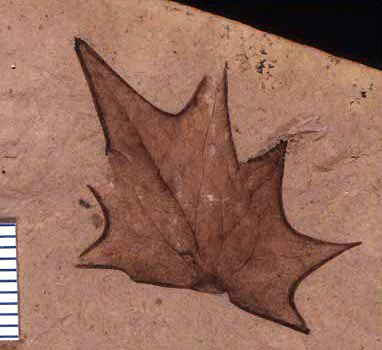 fossil leaf holotype