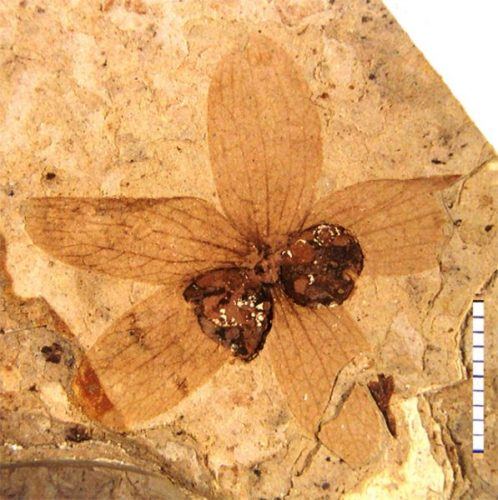 fossil flower and fruit