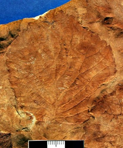 fossil leaf with veins