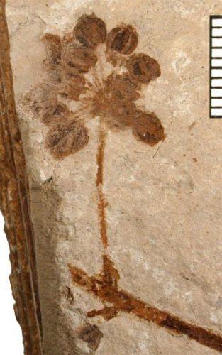 fossil flower head