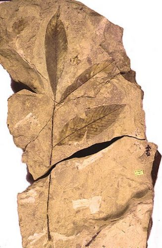 fossil leaves and stem
