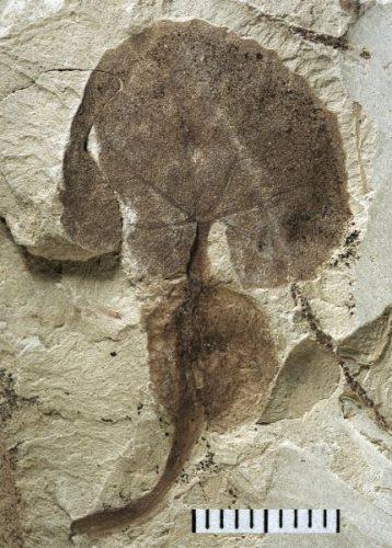 fossil aquatic leaf