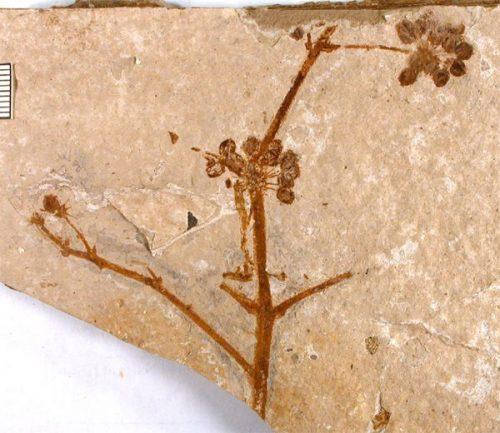 fossil flower heads