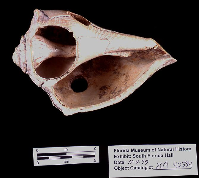 Cutting-edged tool, whelk shell, A.D. 700-1500, Key Marco, Collier Co. (A-6381)
