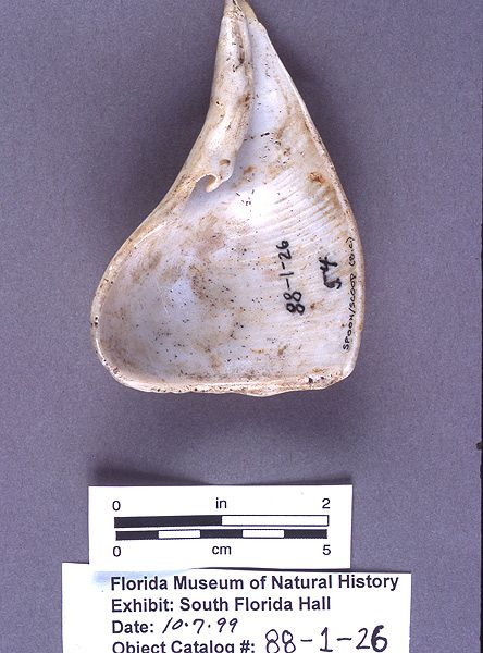 Spoon or scoop, whelk shell, 200 B.C.-A.D. 400, Cash Mound, Charlotte Co. (88-1-26)