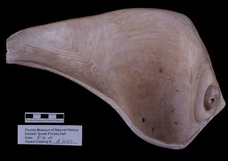 Dipper, whelk shell, A.D. 700-1500, Key Marco, Collier Co. (A-6147)
