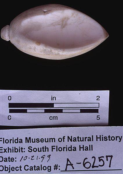 Sinker, whelk shell, A.D. 700-1500, Key Marco, Collier Co. (A-6257)