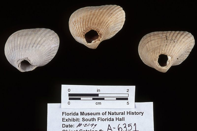 Net weights, ark shell, A.D. 700-1500, Key Marco, Collier Co. (A-6351)