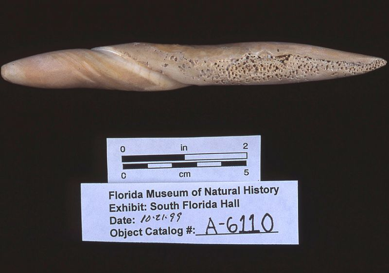 Perforator, conch shell, A.D. 700-1500, Key Marco, Collier Co. (A-6110)