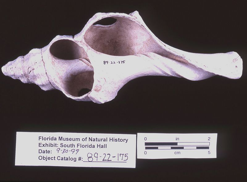 Hammer, conch shell, A.D. 1100-1300, Horr's Island, Collier Co. (89-22-175)