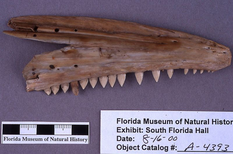 Thatch cutter, barracuda jaw, A.D. 700-1500, Key Marco, Collier Co. (A-4393)
