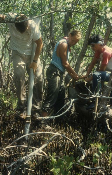 Vibracoring in the mangroves, July 1986.