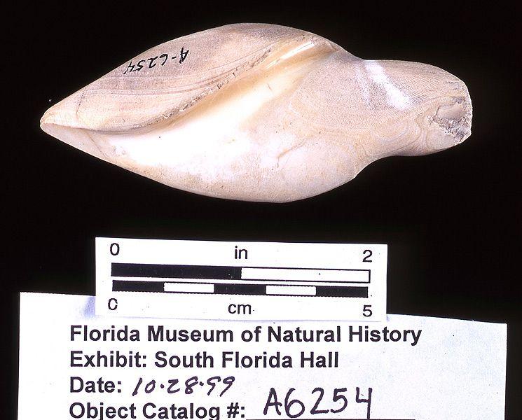 Sinker, whelk shell, A.D. 700-1500, Key Marco, Collier Co. (A-6254)