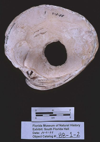 Net weight, quahog clam shell, 200 B.C.-A.D. 400, Cash Mound, Charlotte Co. (88-1-2)