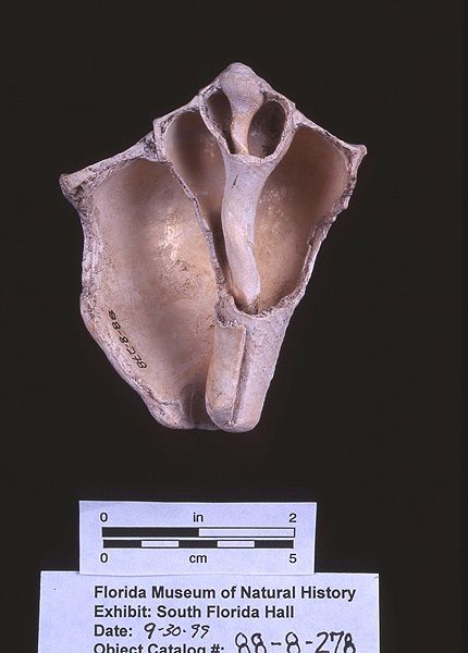 Hammer, whelk shell, A.D. 800-1350, Pineland, Lee Co. (88-8-278)