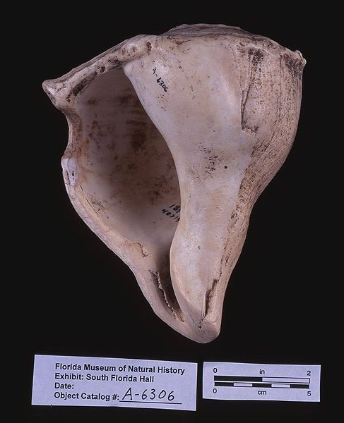 Cutting-edged tool, whelk shell, A.D. 700-1500, Key Marco, Collier Co. (A-6306)