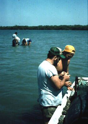 Irv Quitmyer and Doug Jones record data on clams, while Bill Marquardt, Steve Hale, Liz Wing, and Ann Cordell collect faunal samples along a transect, 1986.
