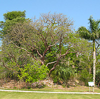 View towards Brown's Complex Mound 1, on Calusa Heritage Trail. (Photo by William Marquardt.)