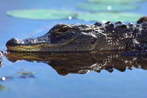 American alligator. Photo courtesy South Florida Water Management District