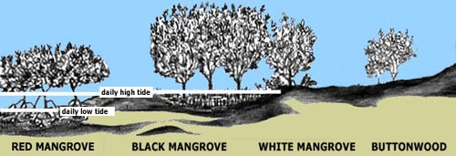 Image illustrating the relationship between the daily high and low tides and the type of mangroves they produce