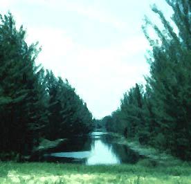 Casuarina. Photo courtesy National Park Service