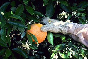 Citrus tree. Photo courtesy U.S. Department of Agriculture