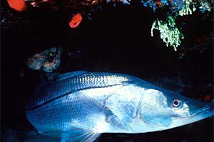 Snook. Photo courtesy Florida Keys National Marine Sanctuary