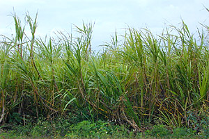 Sugar cane. Photo courtesy U.S. Geological Survey