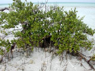 Black mangroves. Photo © Cathleen Bester / Florida Museum