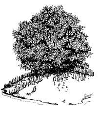 Black mangrove. Illustration courtesy NOAA