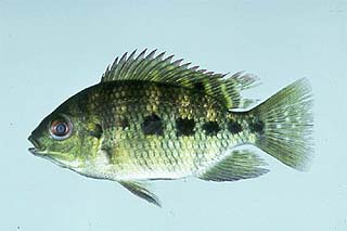Spotted tilapia. Photo courtesy U.S. Geological Survey